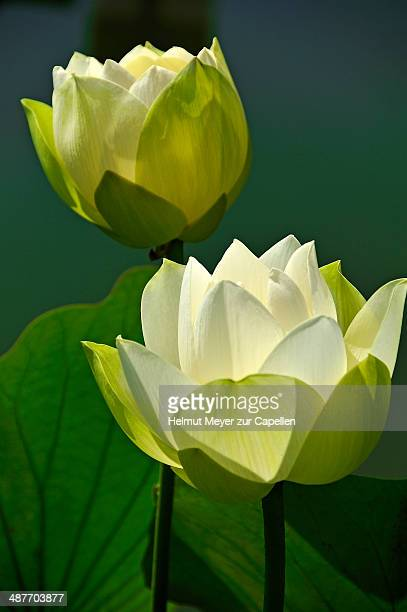 Two White Lotus Flowers -Nelumbo sp.-, Erlangen Botanical Garden, Erlangen, Middle Franconia, Bavaria, Germany