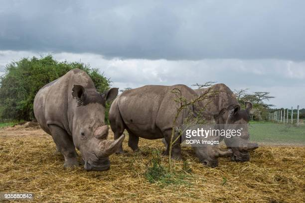 Two white northern and one white southern female rhinos are grazing To spot the difference between the species check their ears With the death of...