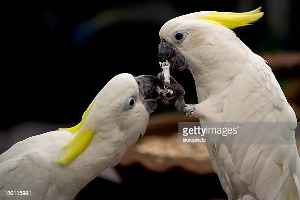 two white parrots with yellow tinge sharing food - lifeispixels fotografías e imágenes de stock