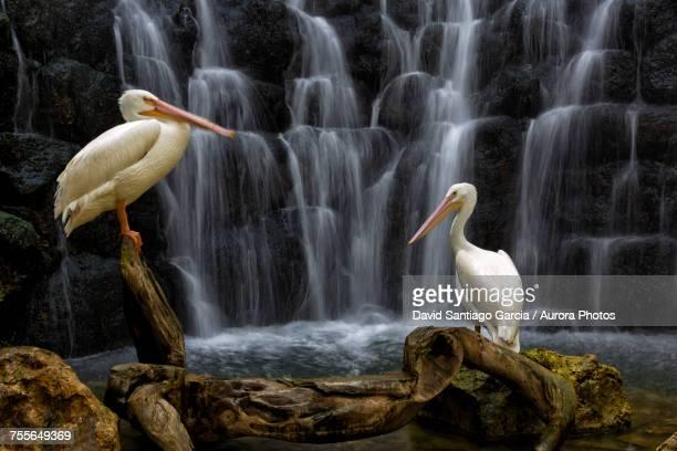 two white pelican (pelecanus erythrorhynchos) birds, xcaret park, playa del carmen, yucatan peninsula, mexico - playa del carmen fotografías e imágenes de stock