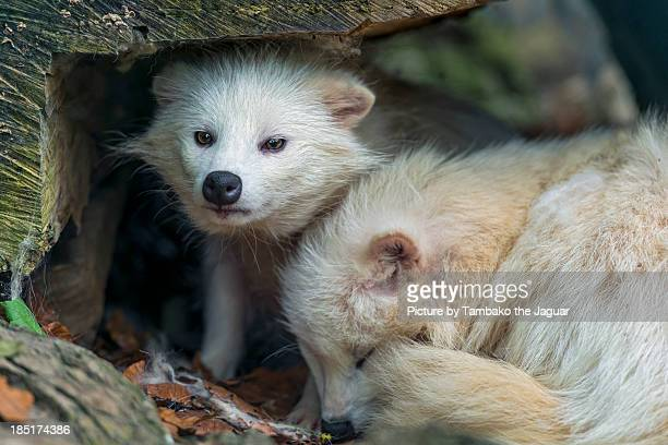 Two white raccoon dogs