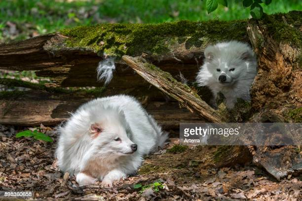 Two white raccoon dogs resting under tree trunk in forest