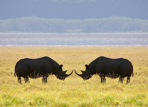 Two White rhinoceros face to face on savannah, side view