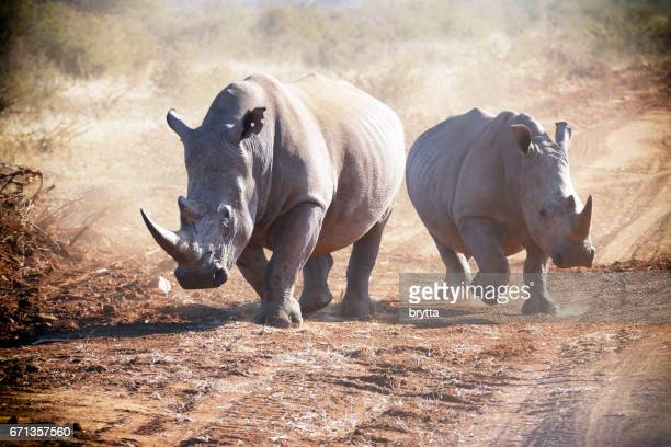 Two white rhinoceros running and making dust in the Madikwe Game Reserve in South Africa