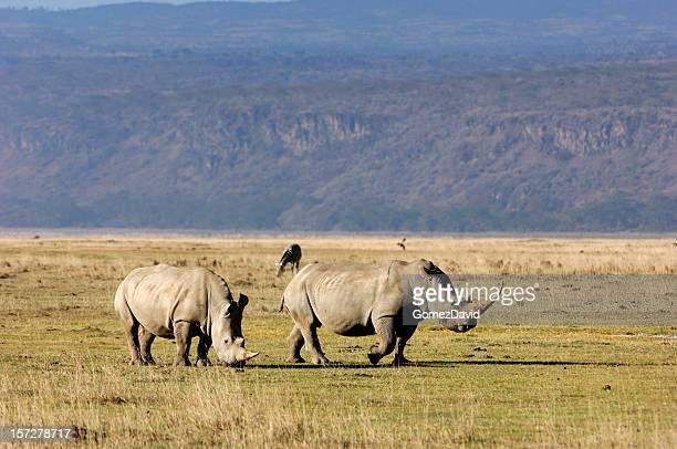 two white rhinos on the savanna - lake nakuru stock photos and pictures