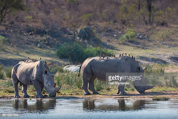 Two White Rhinos with Oxpeckers