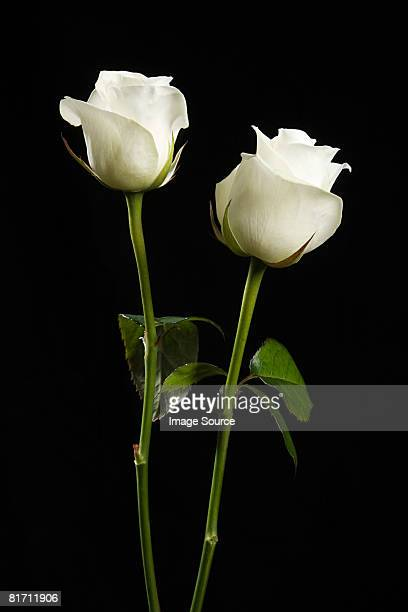 two white roses - black rose stock photos and pictures