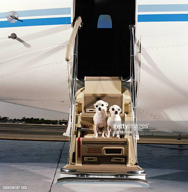 Two White Smooth-coat Chihuahuas, sitting on steps of corporate jet