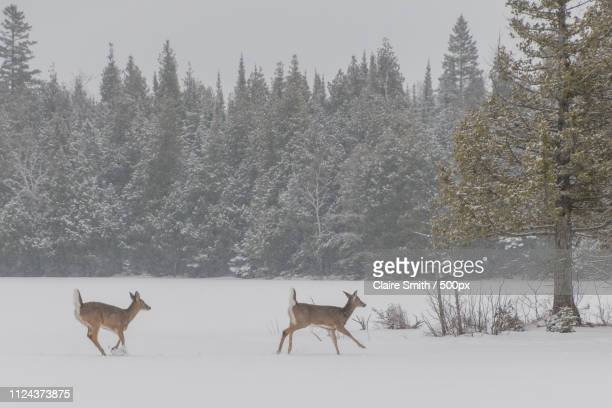 two white tailed deer by frozen shore of lake - white tail buck stock photos and pictures