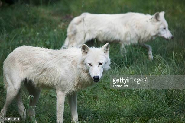 two white wolves in the grass - loup blanc photos et images de collection