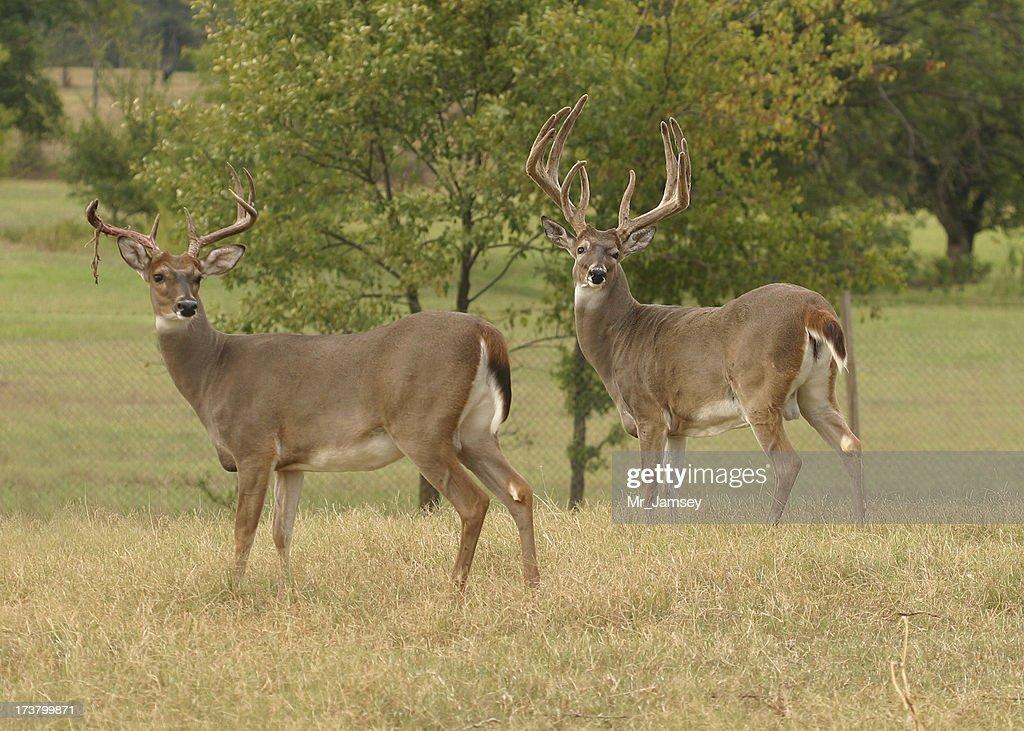 Two White-tailed Bucks : Stock Photo