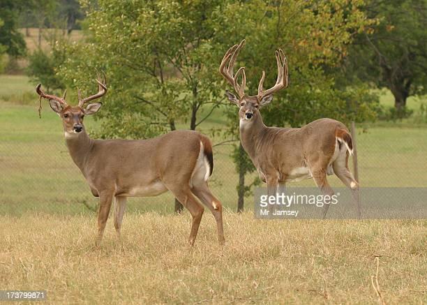Two White-tailed Bucks