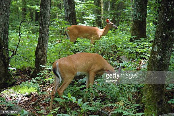 two white-tailed deer (odocoileus virginianus) - white tail deer stock photos and pictures