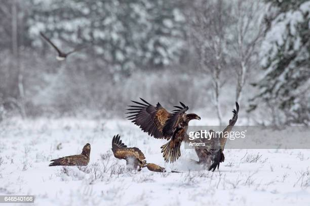 Two whitetailed eagles / sea eagle / ernes fighting among group in the snow in winter