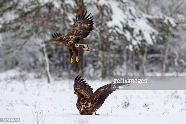 Two whitetailed eagles / sea eagle / ernes taking off after fighting in the snow in winter