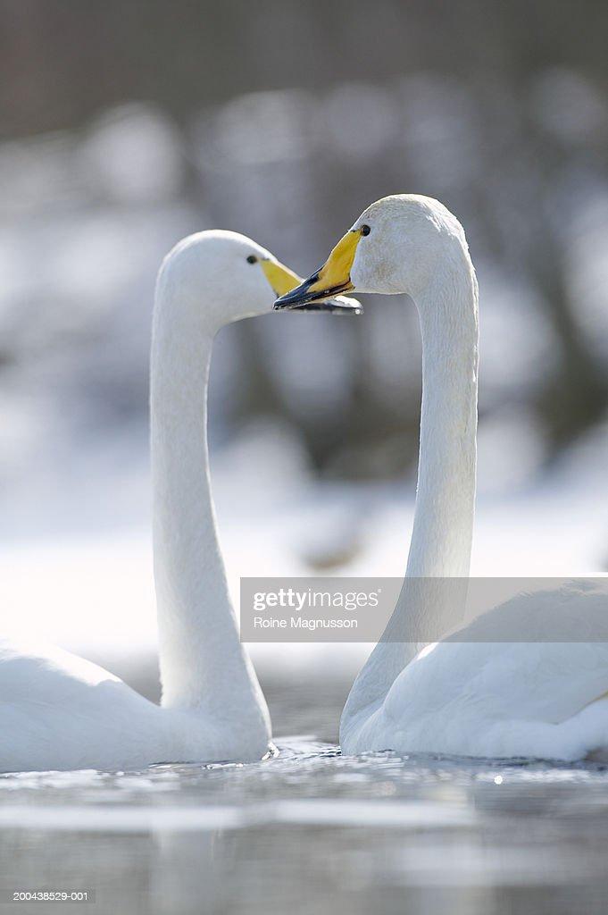 Two Whooper swans (Anas Platyrhnchos) on lake : Stock Photo