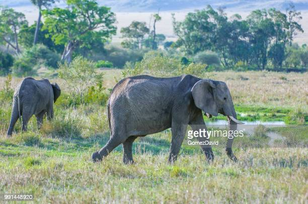 two wild african elephants walking through shrubs - safari animals stock photos and pictures