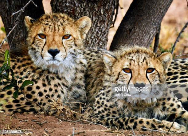 Two wild cheetahs relaxing under a tree
