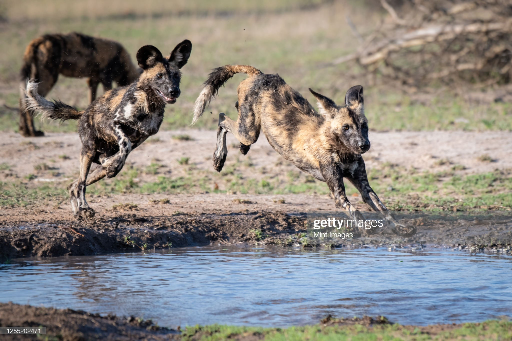 Two wild dog, Lycaon pictus, follow each other and jump over and into a water pan, muddy legs : Photo