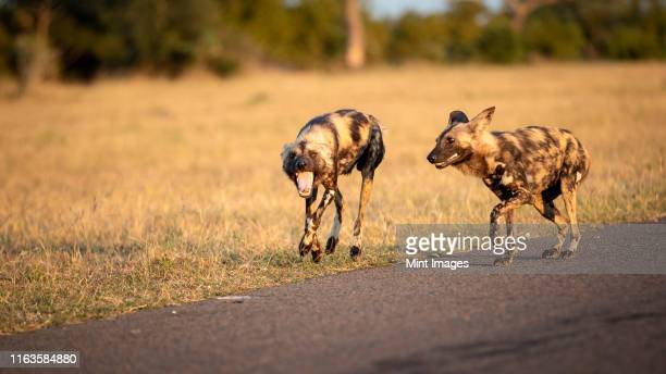 two wild dog, lycaon pictus, walk together, looking out of frame, mouth open, dry yellow grass background. - out of frame stock pictures, royalty-free photos & images