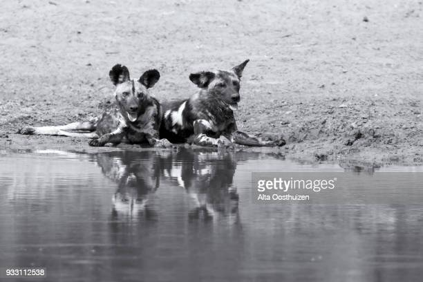 Two wild dogs rest next to a waterhole to drink some water - Kruger National Park