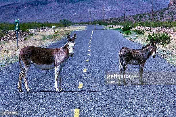 Two Wild Donkeys