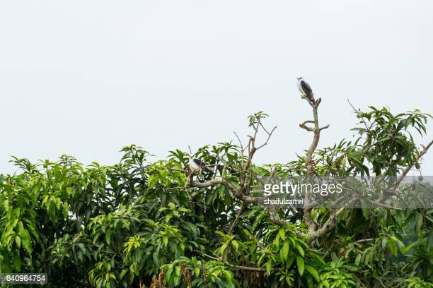 two wild eagle  resting at tree branch waiting for prey - shaifulzamri stock pictures, royalty-free photos & images