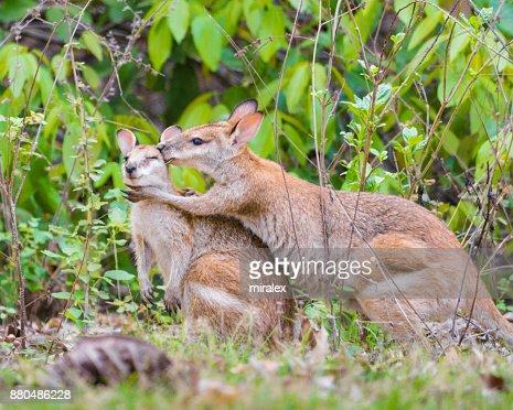 Two Wild Gray Kangaroos Hugging