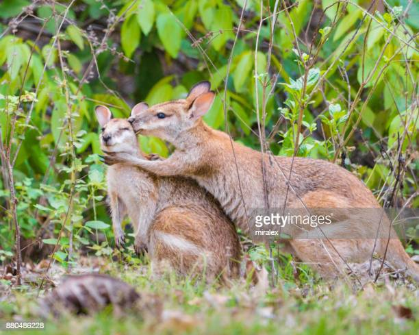 two wild gray kangaroos hugging - hairy bush stock pictures, royalty-free photos & images