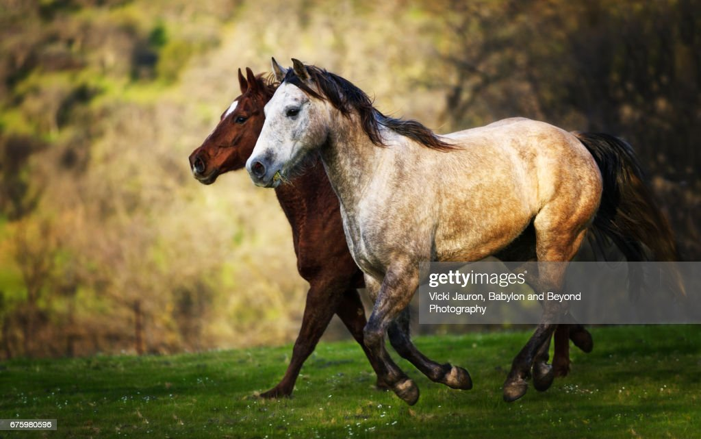 Two Wild Horses Running At Sunset High Res Stock Photo Getty Images
