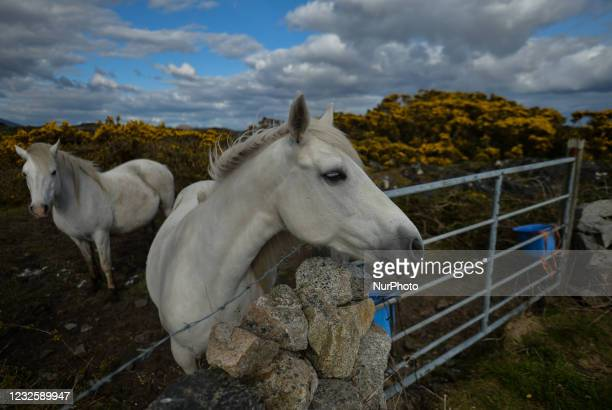 Two wild horses seen in a field near Ervallagh, during the COVID-19 lockdown. On Wednesday, 28 April 2021, in Ervallagh, Roundstone, Connemara, Co....