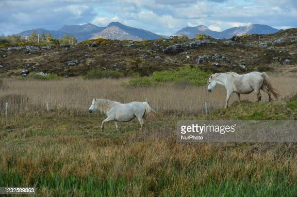 Two wild horses seen near Ervallagh, during the COVID-19 lockdown. On Wednesday, 28 April 2021, in Ervallagh, Roundstone, Connemara, Co. Galway,...
