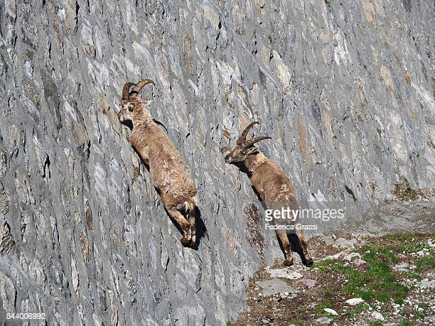 Two Wild Ibex Goats Licking The Saltpetre Off The Stones On The Cingino Dam