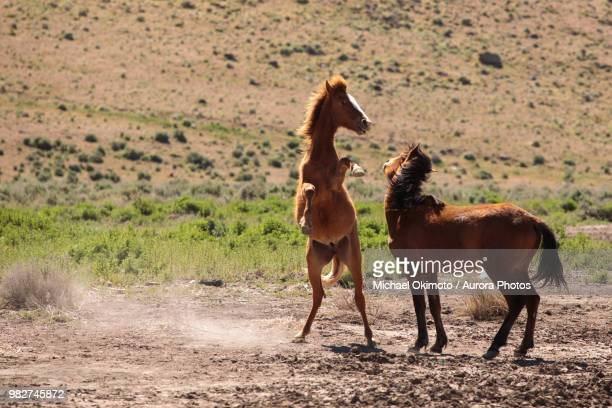 two wild mustangs fighting - accouplement cheval photos et images de collection