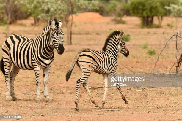 two wild zebras in south africa on safari - animated zebra stock pictures, royalty-free photos & images