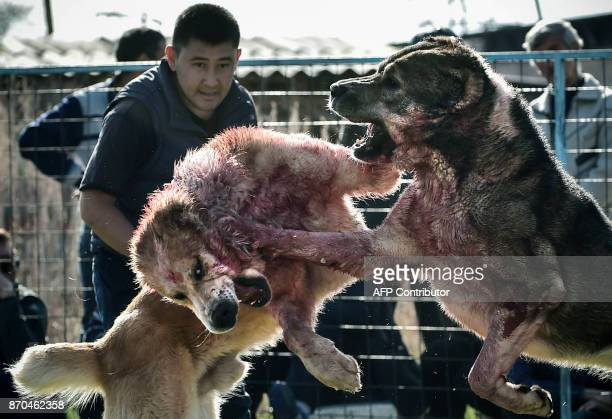 Two wolfhounds take part in a dogfight in a stadium in the Kyrgyzstan capital Bishkek on November 5 during fights organized by a local breeders...