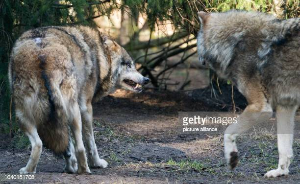 Two wolves are seen in their enclosure at the Schorfheide Game Park in Gross Schoenebeck Germany 24 February 2014 The wildlife park is home to only...
