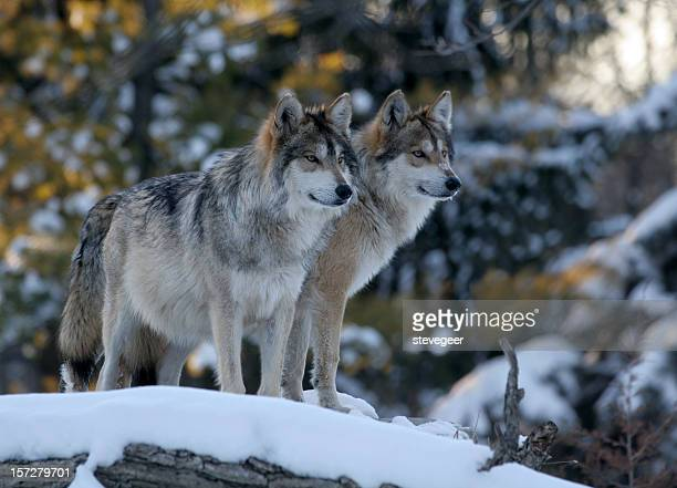 30 best stylized wolves images on wolf stock photos and pictures getty images