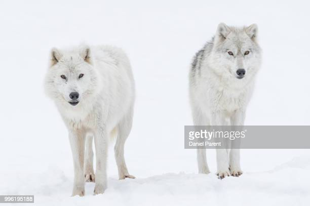 two wolves... - arctic wolf stock photos and pictures