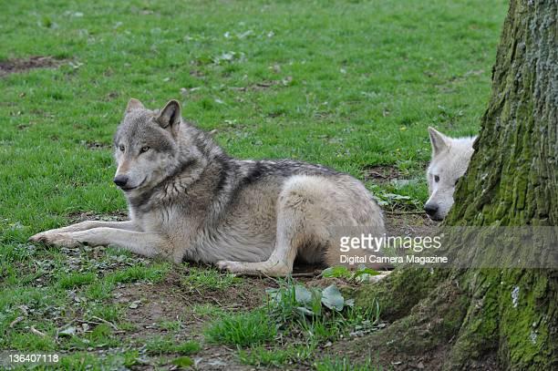 Two wolves resting at Longleat safari park Warminster April 5 2011