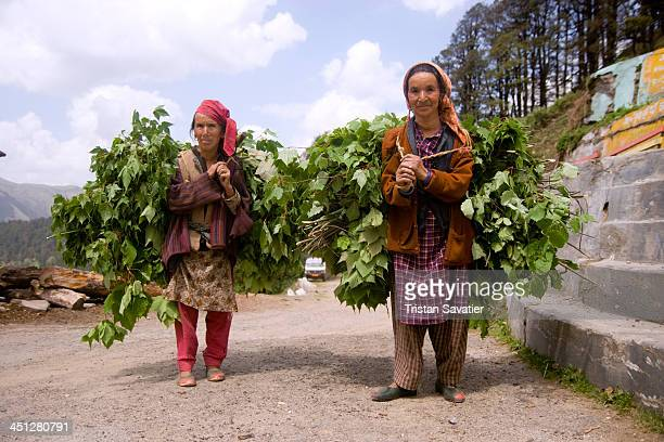Two women carrying loads of foliage on their back, on Jalori Pass. This is probably food for their goats. Jalori Pass it located about 600 Km from...