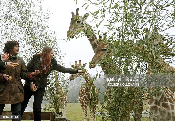 Two women feed giraffes at Serengeti Park near Hodenhagen Germany on April 10 2013 Serengeti Park and the Medical University of Hanover presented the...