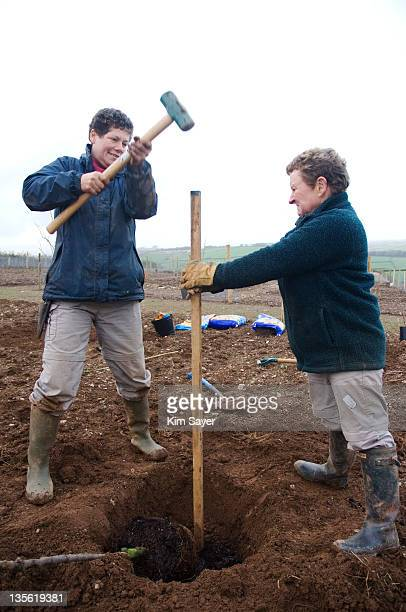 Two Women Knocking In Tree Stake at Rural Allotments, UK