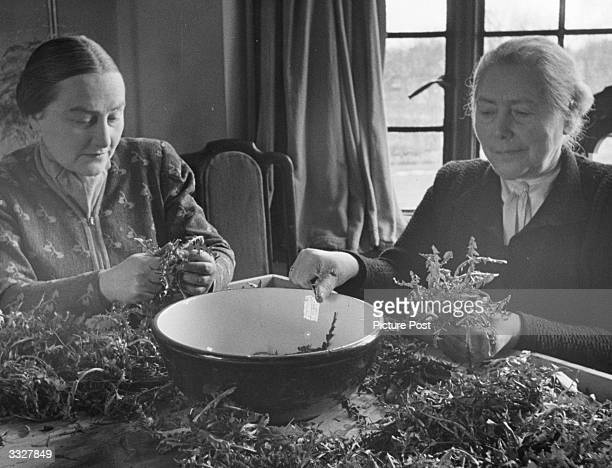 Two women make the most of their resources during the deprivation of World War II, and prepare a salad of dandelion leaves. Original Publication:...
