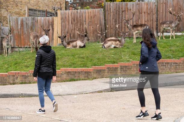 Two women pass as the Fallow deer from Dagnam Park rest and graze on the grass outside homes on a housing estate in Harold Hill near Romford on April...