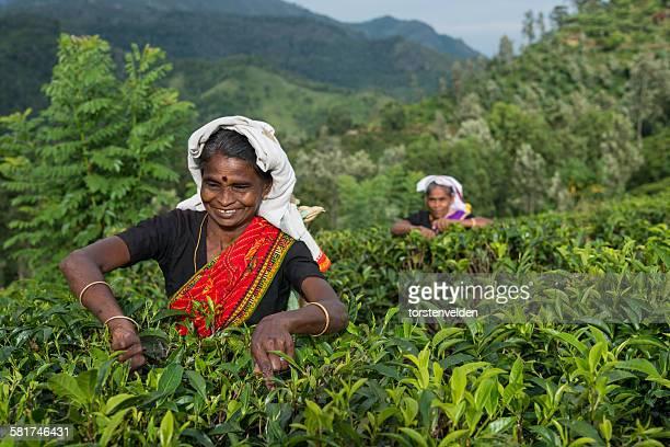 two women picking tea, sri lanka - sri lanka fotografías e imágenes de stock