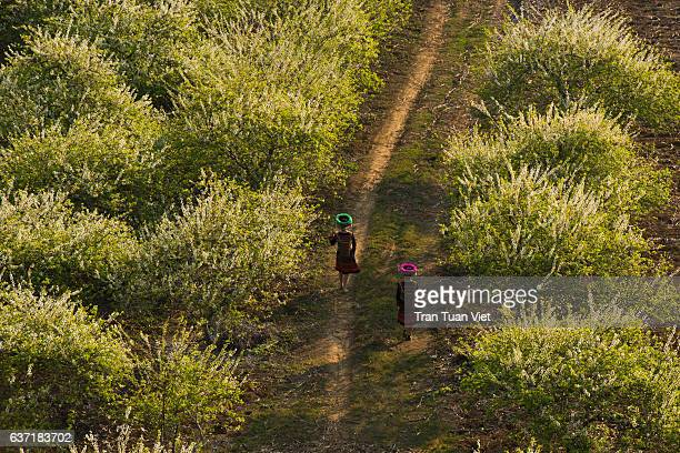 two women walking in moc chau plateau - vietnam - son la province stock pictures, royalty-free photos & images