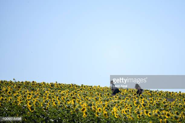 Two women wander through a crop of sunflowers as the lavender season draws to a close at Hitchin Lavender farm on August 2 2018 in Hitchin England...