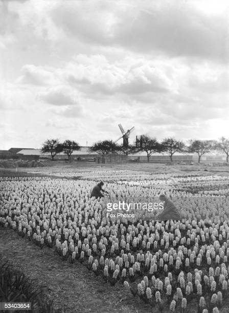 Two women working in a field of hyacinths with a windmill in the distance at Spalding Lincolnshire April 1933