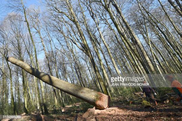 Two woodcutters look on as a 357yearold Sessile oak tree is felled after an hour and a quarter of pruning and half an hour of sawing in the ground of...